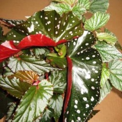 angel-wing-begonia-asst-for-web