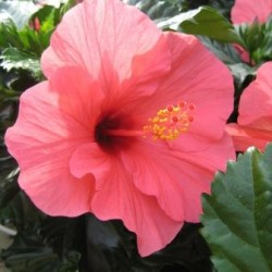hibiscus-for-web