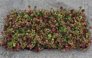 Sedum Mat for website