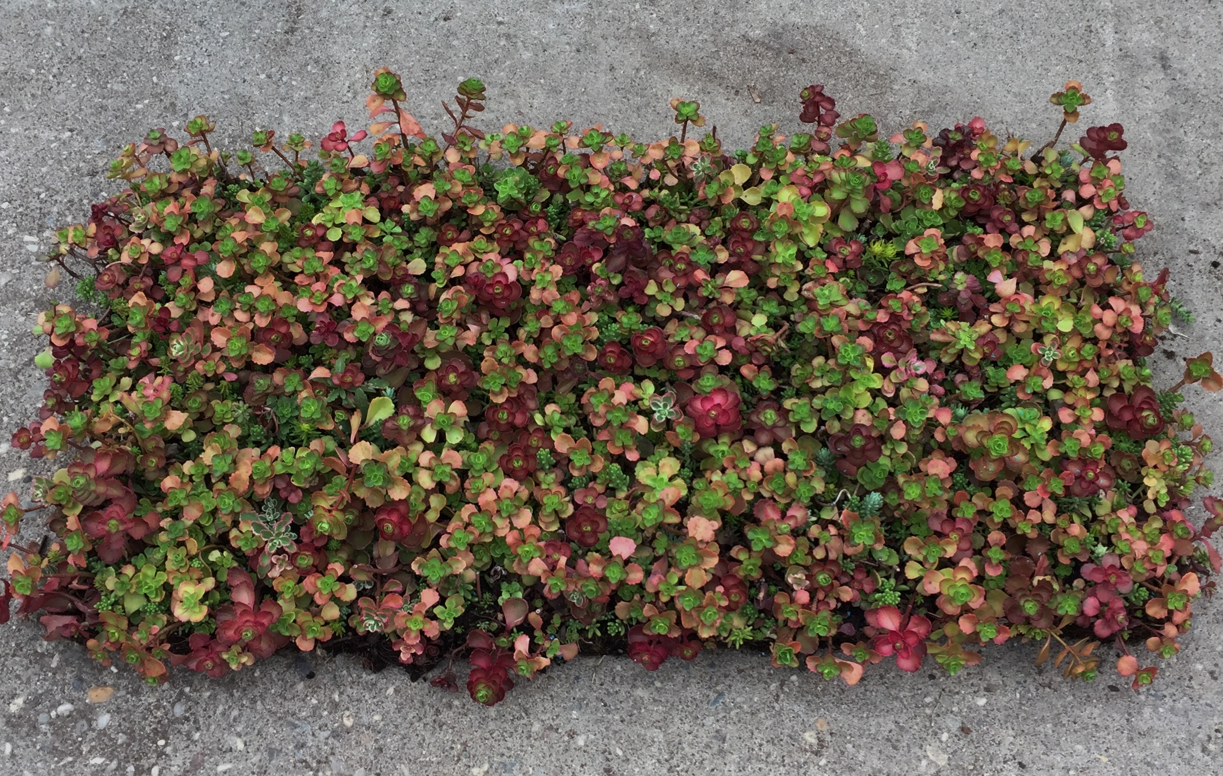 Installed By: Brooklyn Greenroof. Sedum Mat For Website ...