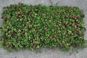 sedum mat for website 2