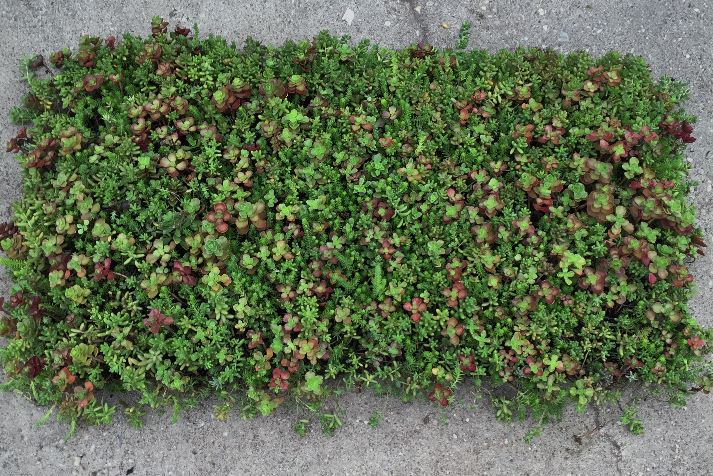 ... Sedum Mat For Website 2