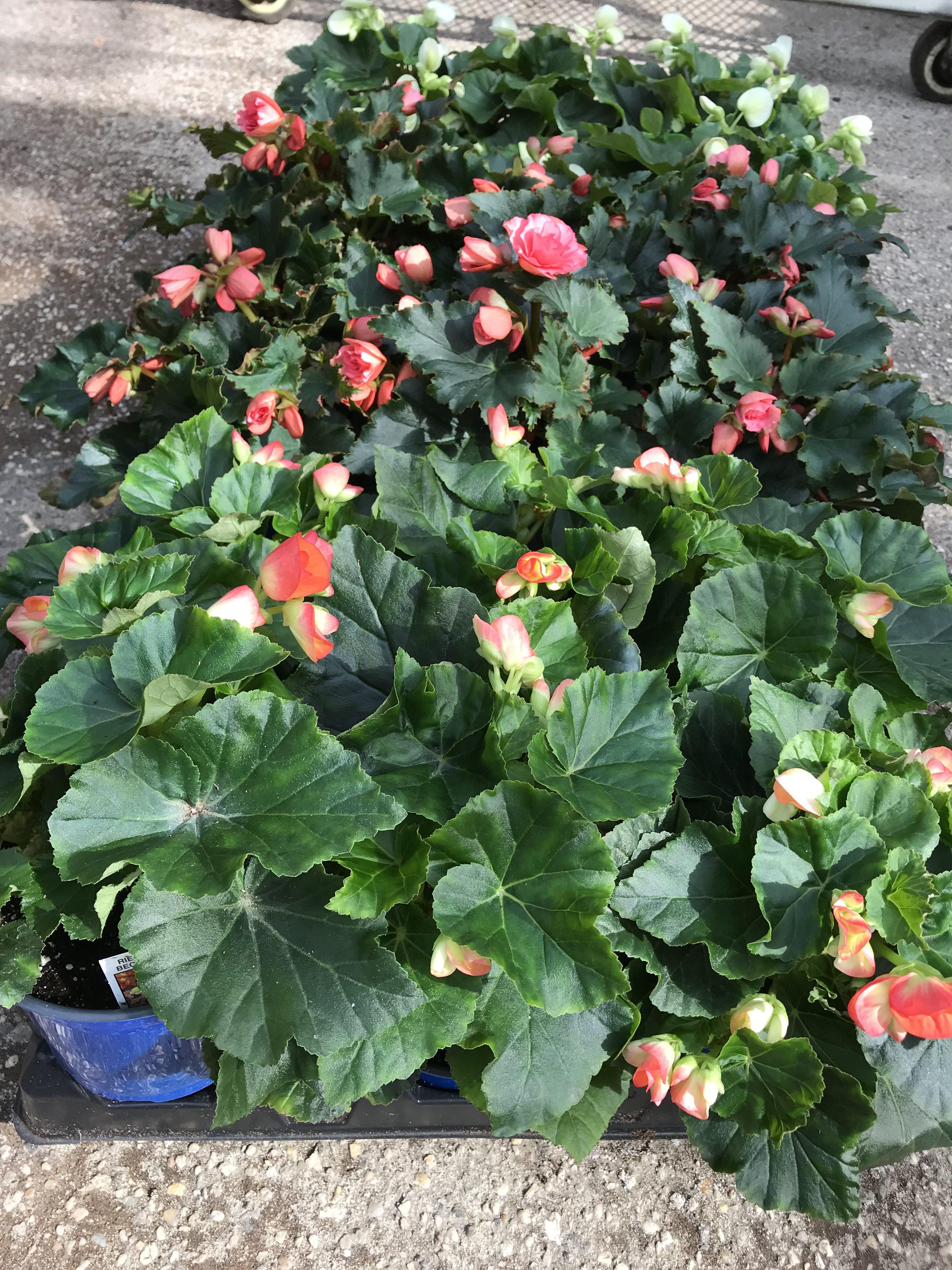 Disease-free Begonias!